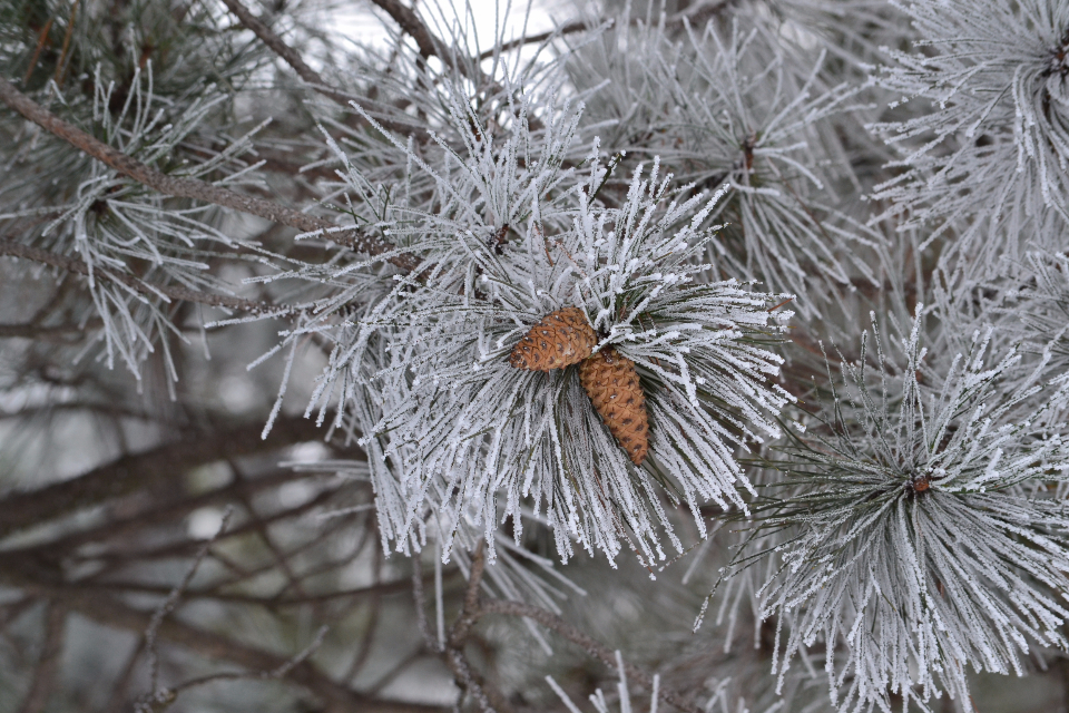 winter pine cones pine cone festive frost snow tree forest