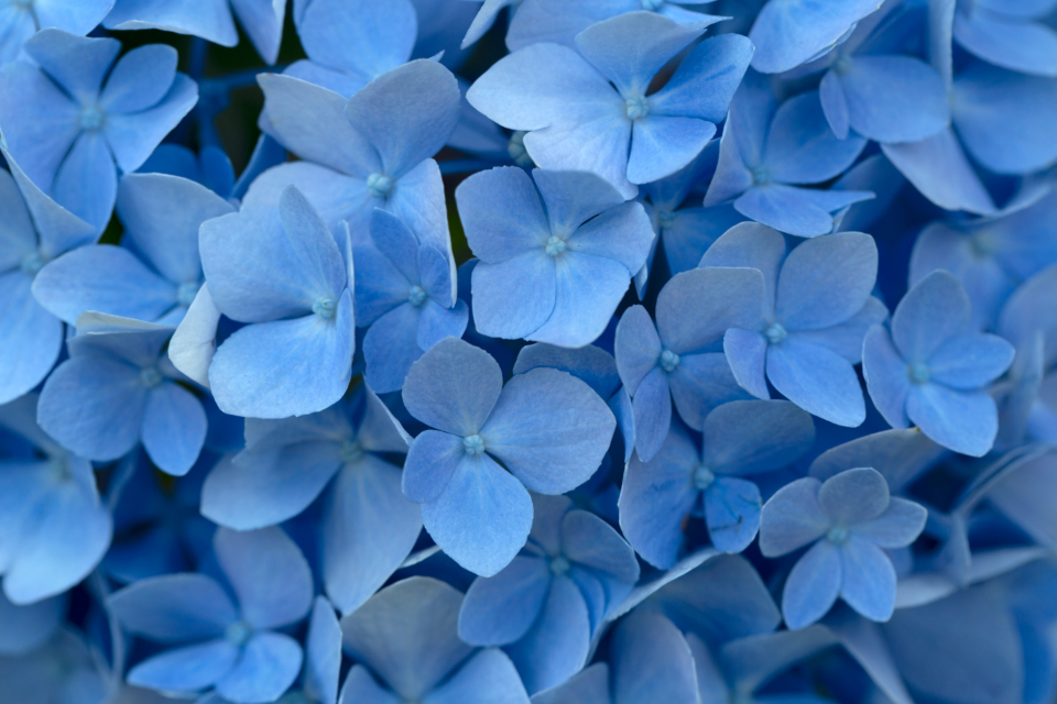 blue flowers background petals close up floral beauty fresh delicate blooming plant nature color texture