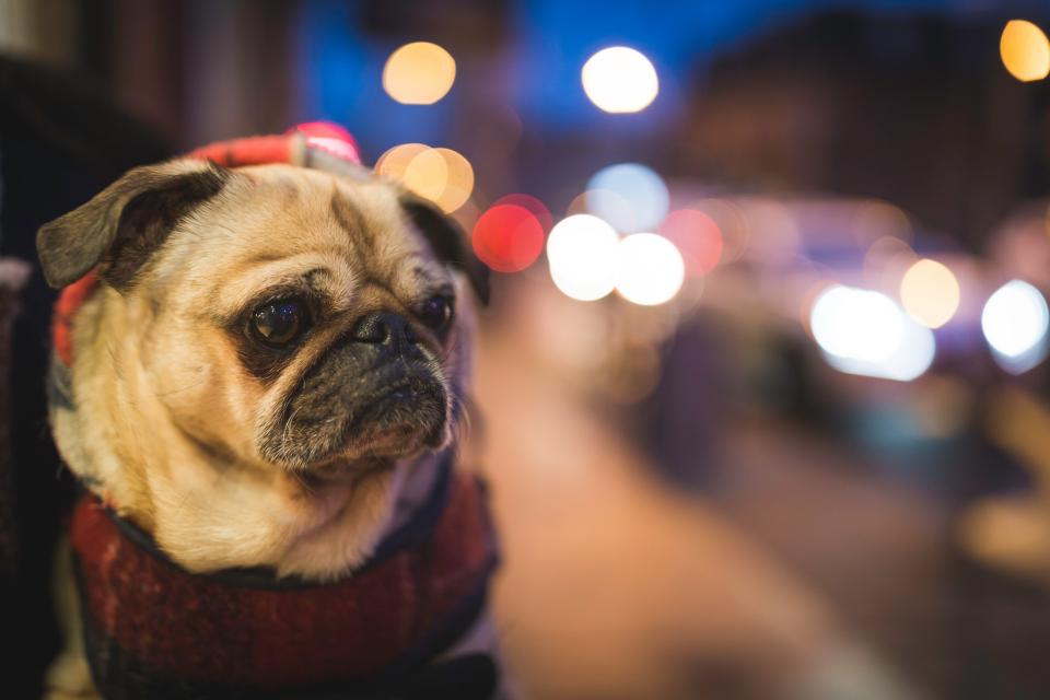 animal dog bulldog friend pet street sidewalk vehicles bokeh blur light