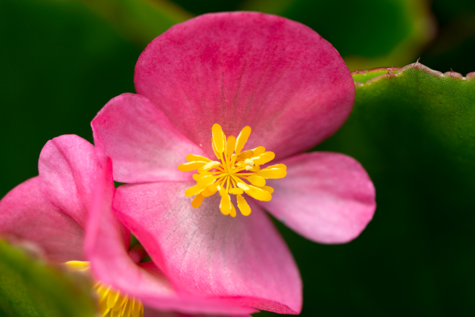 fresh flowers garden macro pink petals nature close up beautiful organic bloom blossom botany pastel pollen yellow