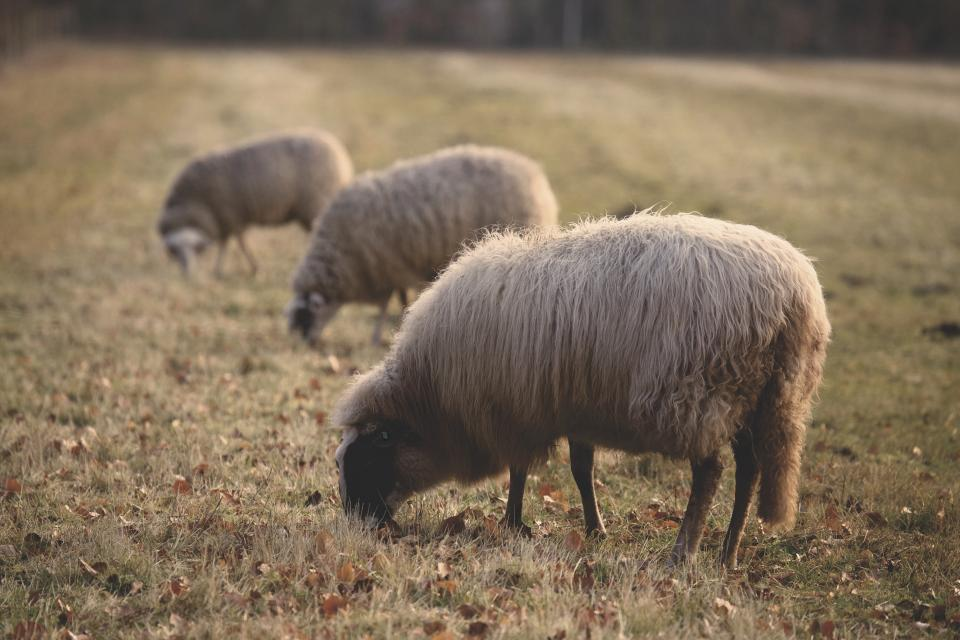 sheep animal green grass farm field outdoor nature