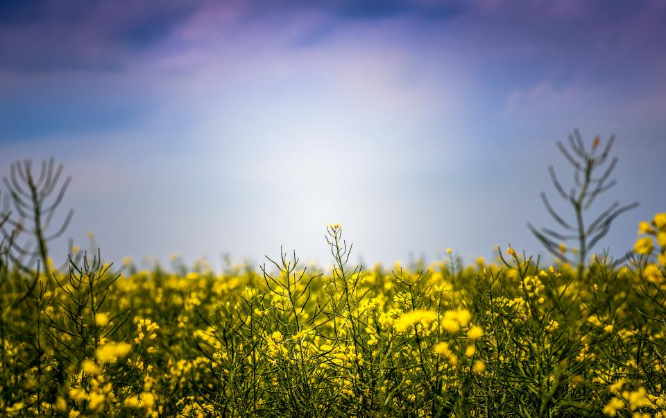 blue sky nature yellow plants flower field farm garden