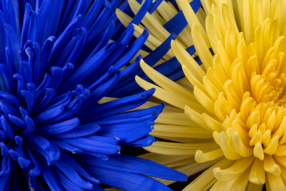 Free Photo Of Blue Yellow Flowers Stocksnap