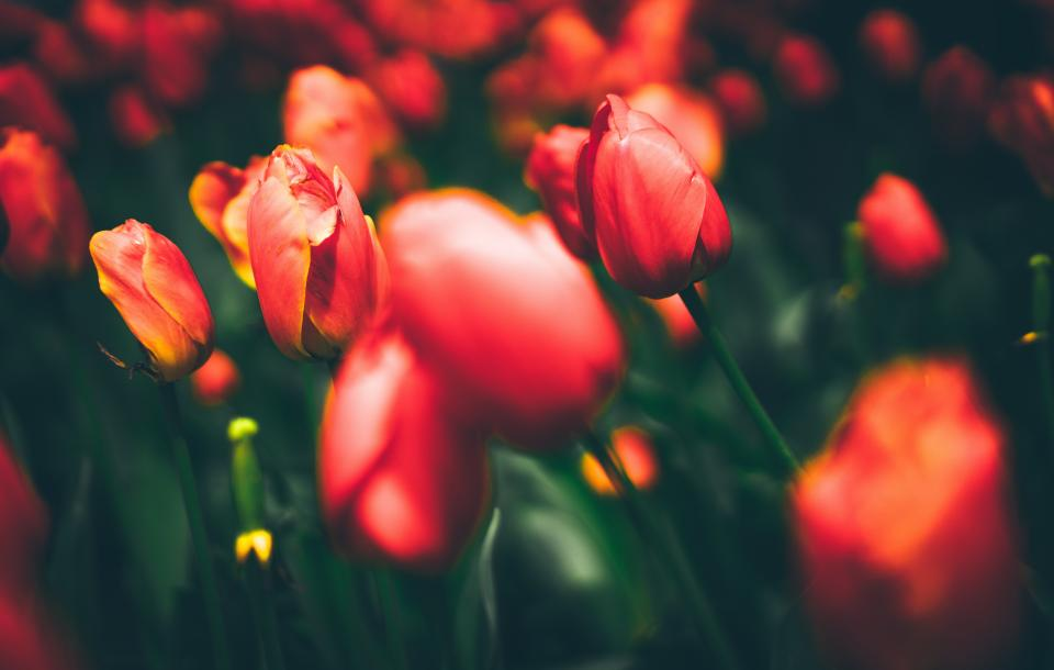 flowers nature blossoms branches bed field stems stalk red petals bokeh outdoors garden tulips