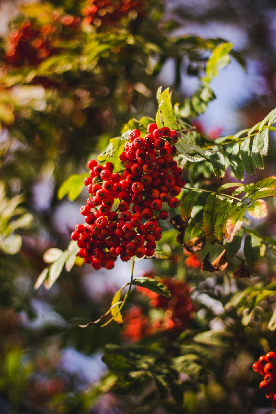 red fruit green leaf plant outdoor nature blur bokeh tree