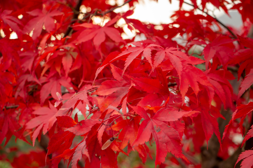 red tree leaves foliage tree branch nature outdoors environment plants vegetation organic natural