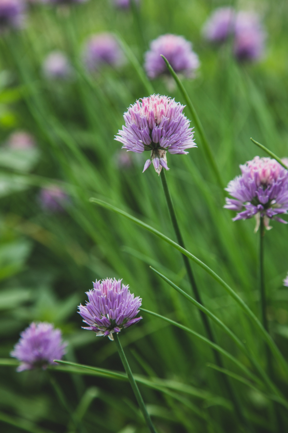 chives blossom garden nature wild purple bloom plants botanical close up bokeh ingredient