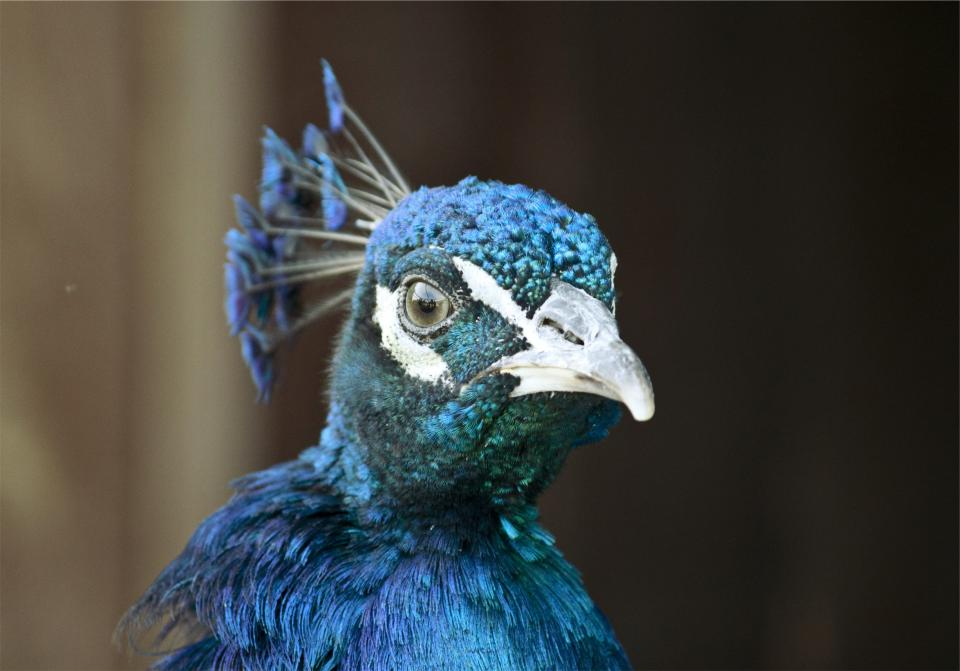 peacock bird animal blue