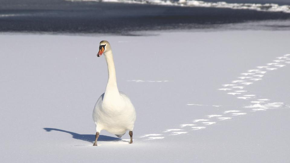 swan duck white footprints animal birds sunny day