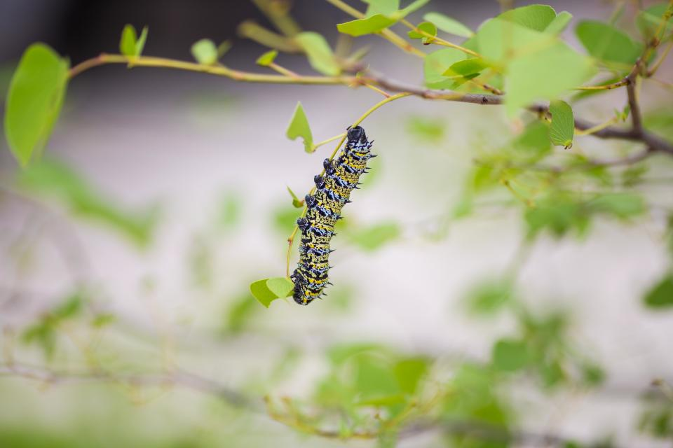 caterpillar leaves green butterfly moth insect macro