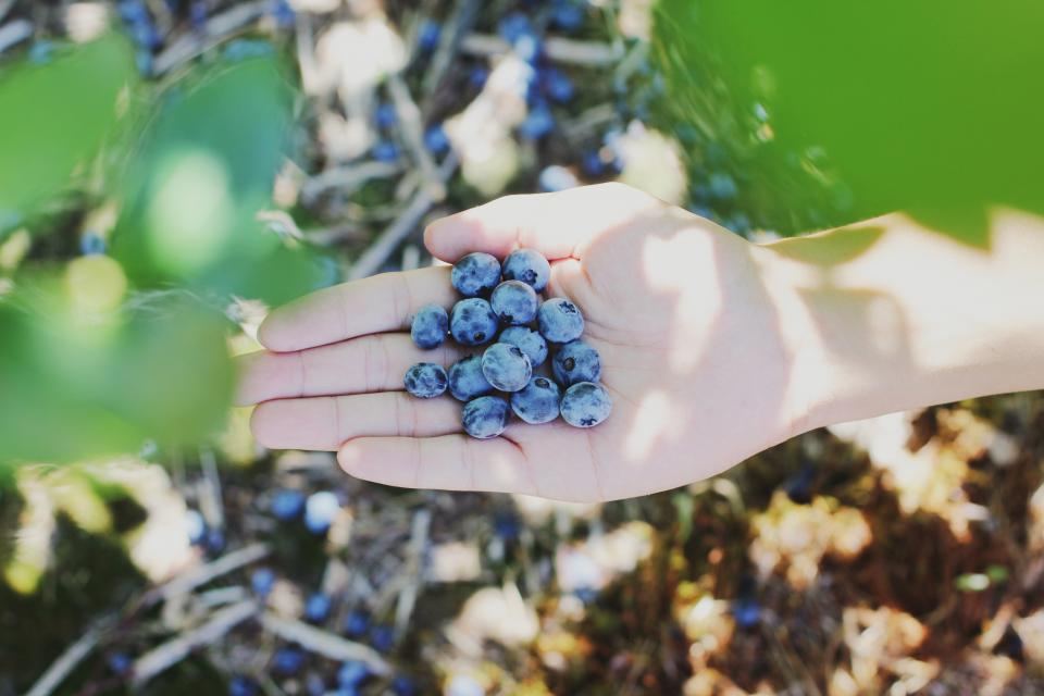 hand blueberry fruit fresh plant garden farm field