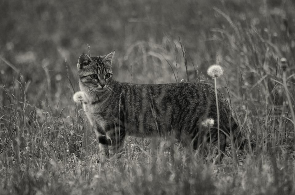 animals pet cat flower bloom plants grass field black and white blur bokeh