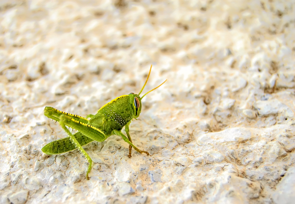 nature animal insect grasshopper wild