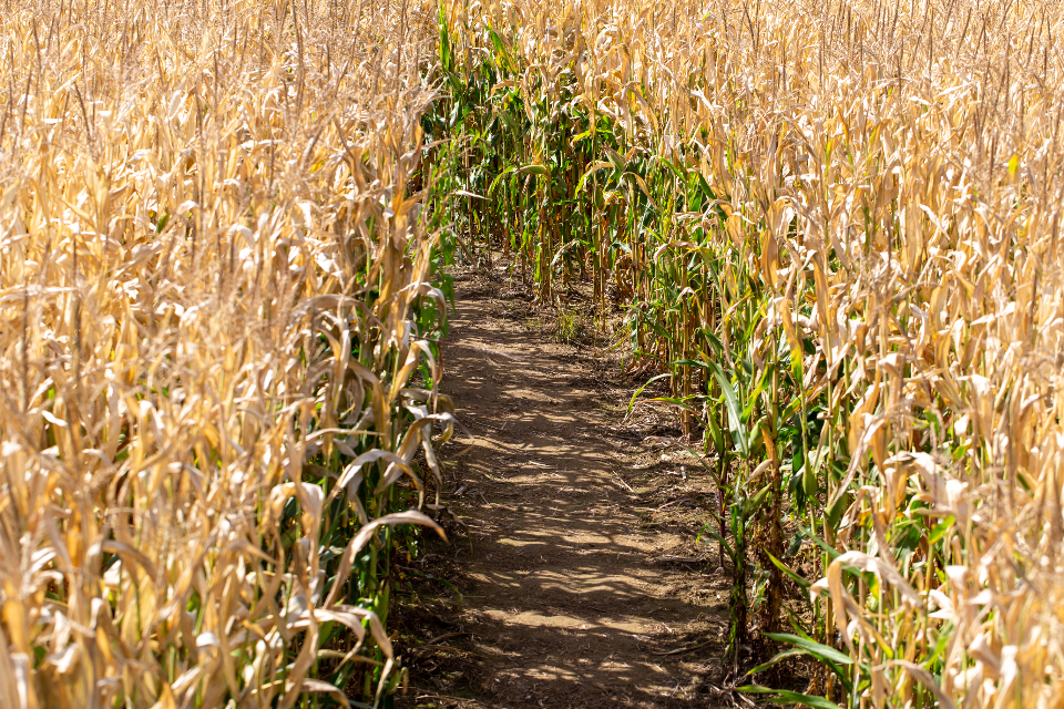 corn field nature path plant maize agriculture dry farm farming farmland crop harvest fall golden