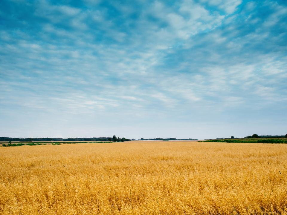 yellow field crops plants agriculture farm rural countryside nature landscape grass blue sky clouds