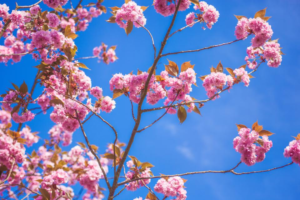 flowers nature blossoms branches twigs leaves pink petals bokeh outdoors garden blue sky clouds