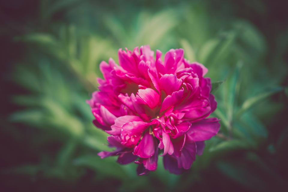 pink petal flower nature plant green blur