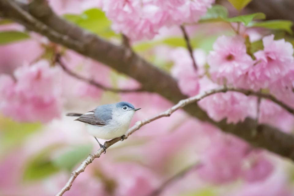 pink flower bloom blossoms petal tree branch bird animal nature