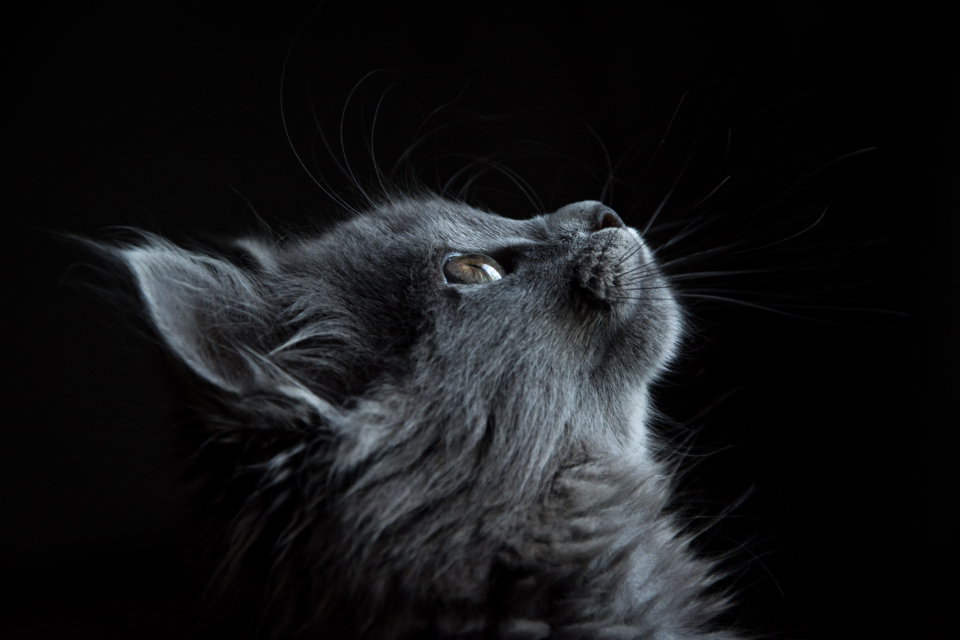 gray cat looking curious pet animal feline black background wallpaper hd