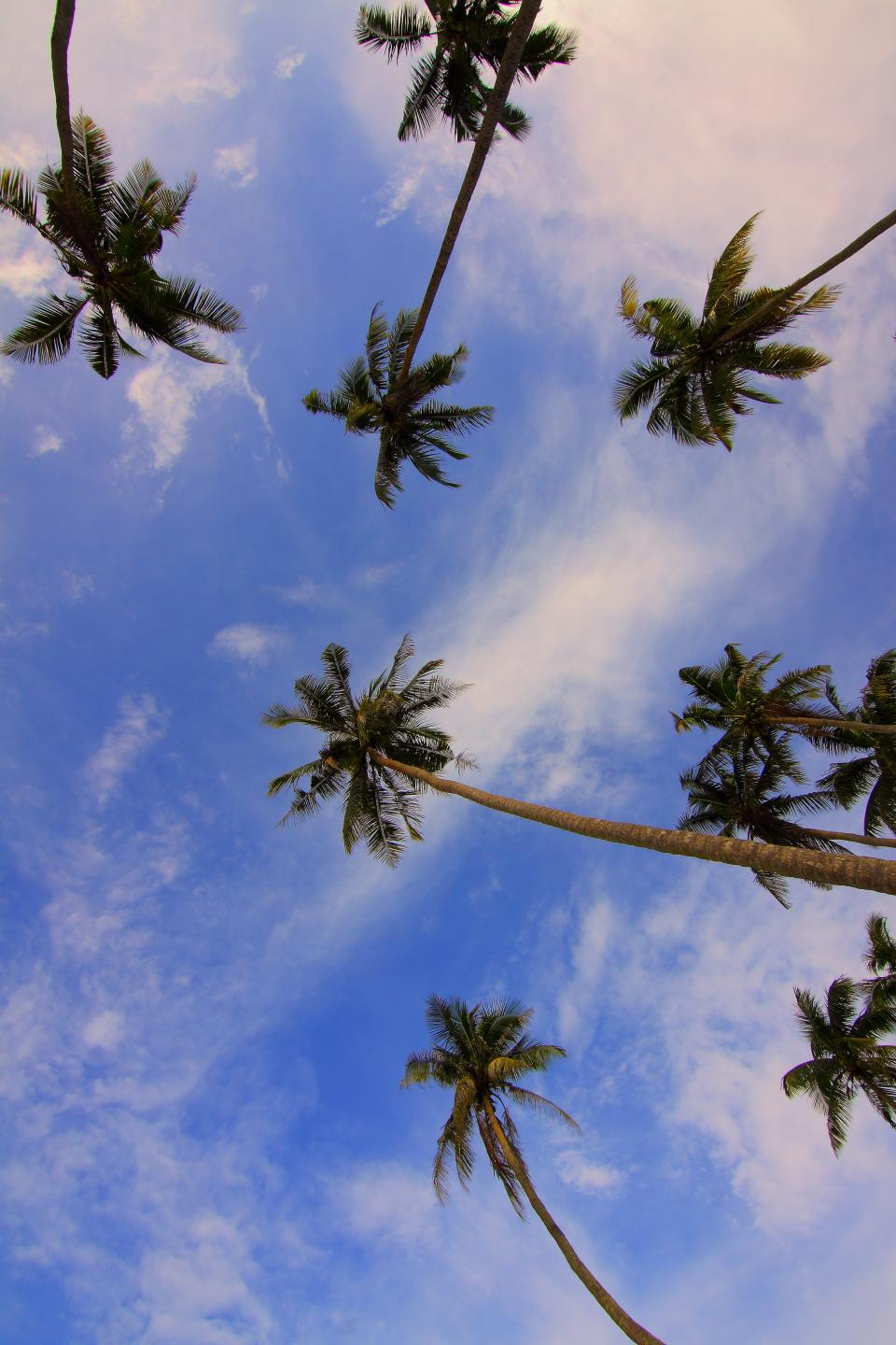 coconut tree nature plant green leaves blue sky clouds