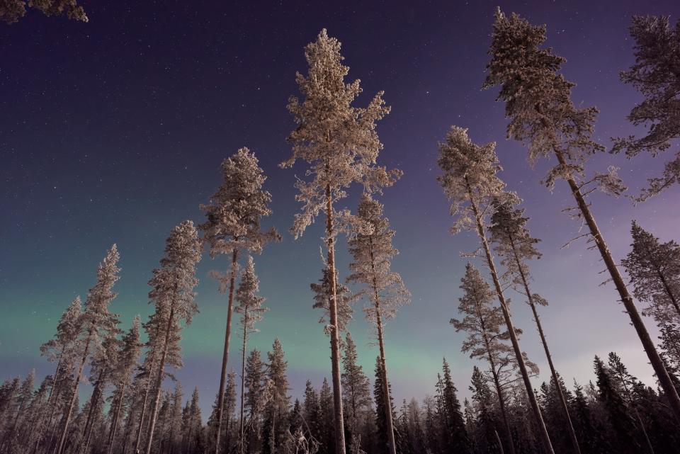 aurora sky trees plant nature forest