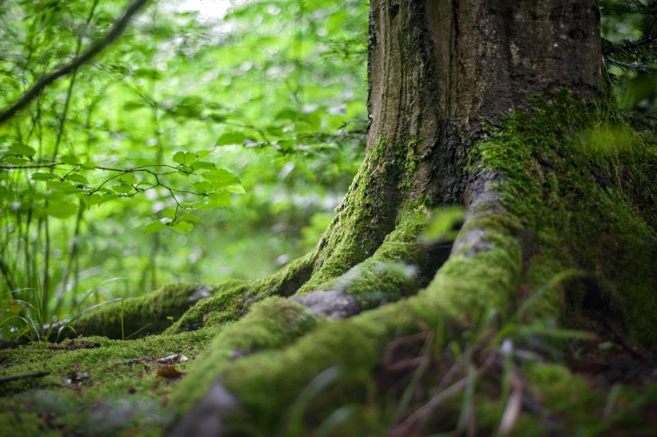 forest root tree green plant moss nature blur bokeh