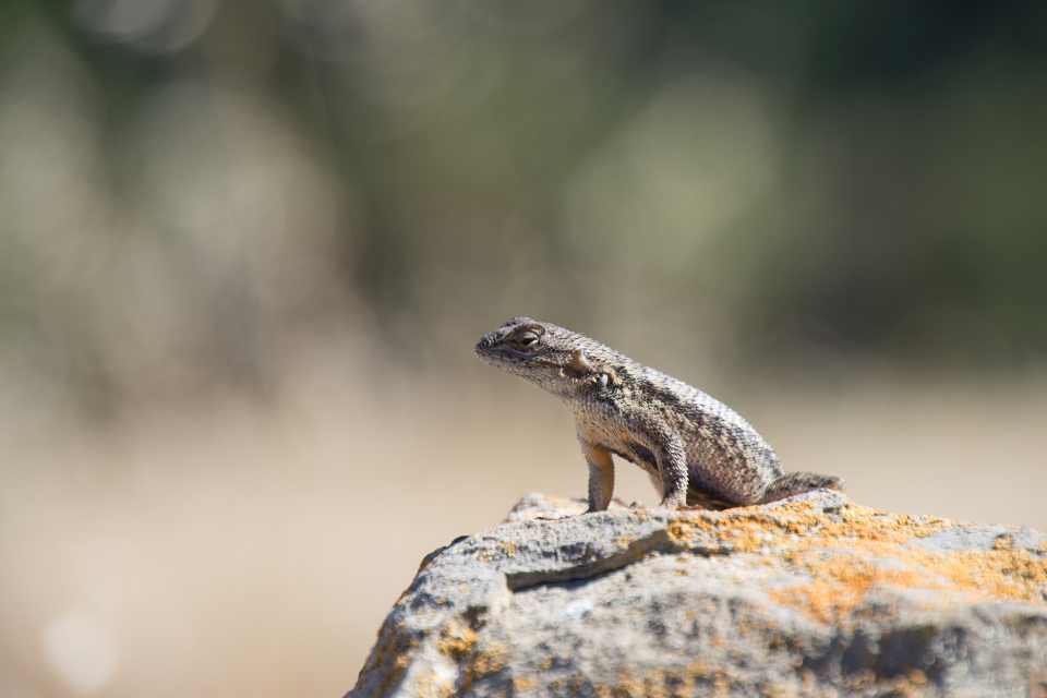 lizard nature green rock looking left calm peace animal life bokeh reptile small