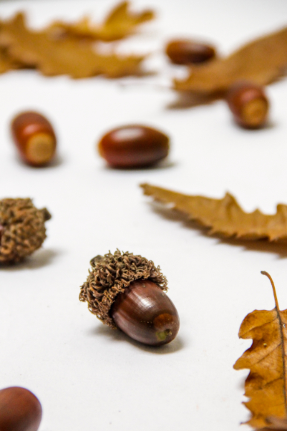 oak leaves acorns close up fall autumn foliage season bokeh nature natural organic nut oaknut objects brown macro
