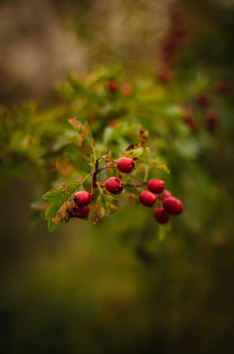 red fruit green leaf plant outdoor nature blur bokeh
