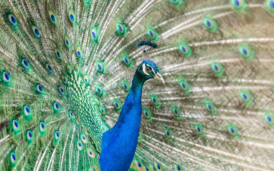 bird peacock feathers animal nature blue green zoo colorful
