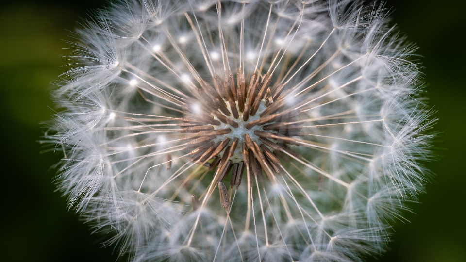 dandelion macro nature blossom plant flower texture natural pattern close up