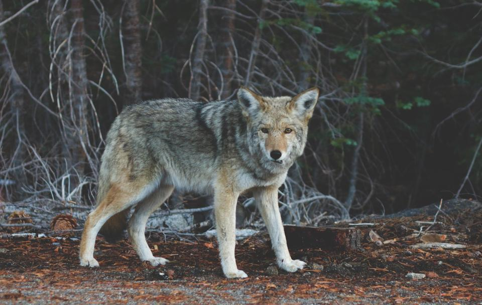 coyote animal wild nature