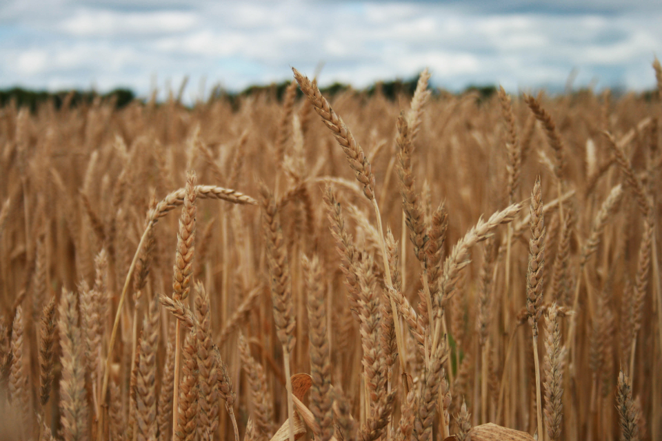 wheat field farm farming agriculture barley land crop landscape pasture rural nature outdoors grass straw sky summer gold clouds harvest