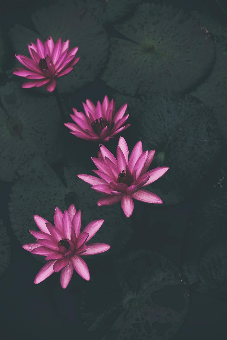 waterlily plants pink petal flower nature water wet leaves