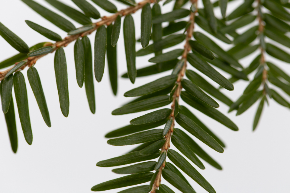 macro tree pine needles tree branch close up nature organic natural outdoors environment green growth plant twig simple