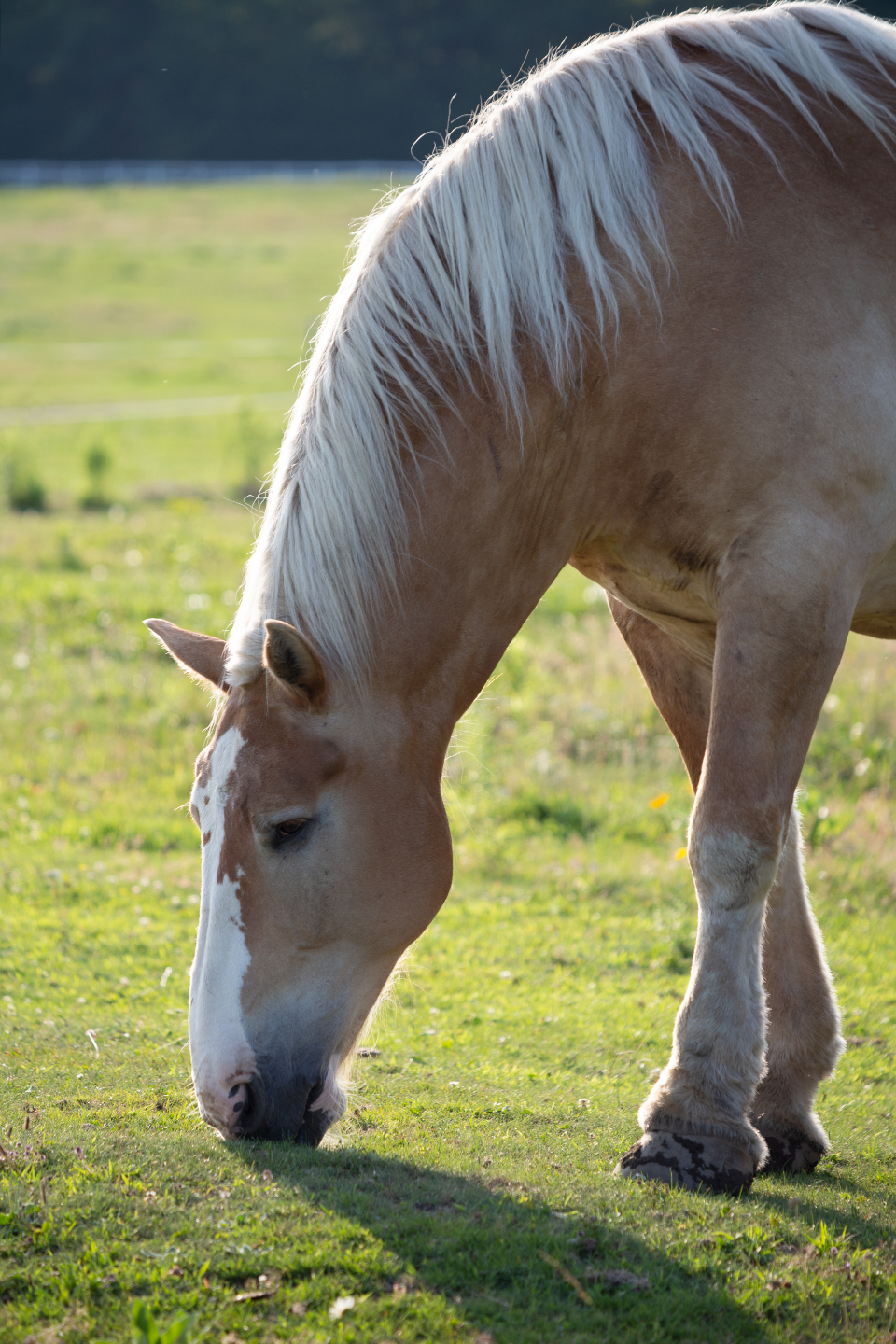 pasture grazing equine field sunshine equestrian ranch farm nature horse animal grass eyes nose mouth hoof legs