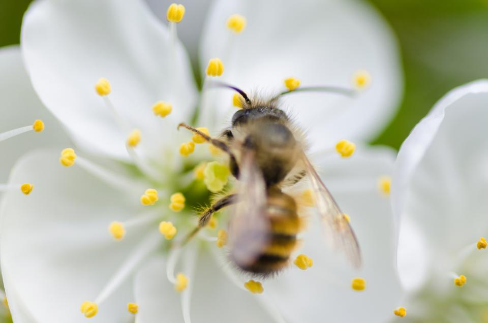 nature macro animals bee pollen white flower petals stigma