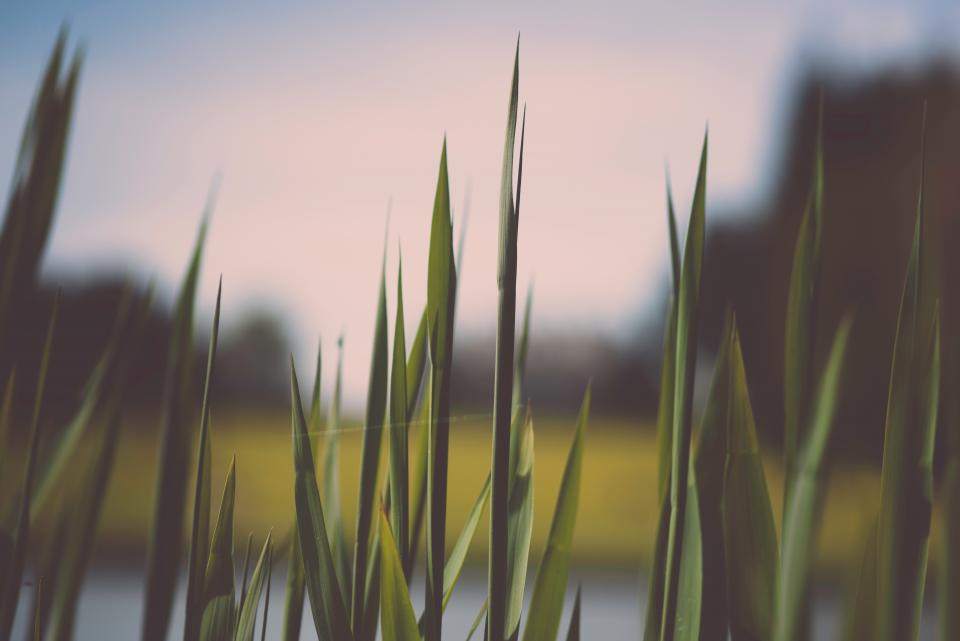nature grass pointed edges swamp lake marsh outdoors sky still bokeh green