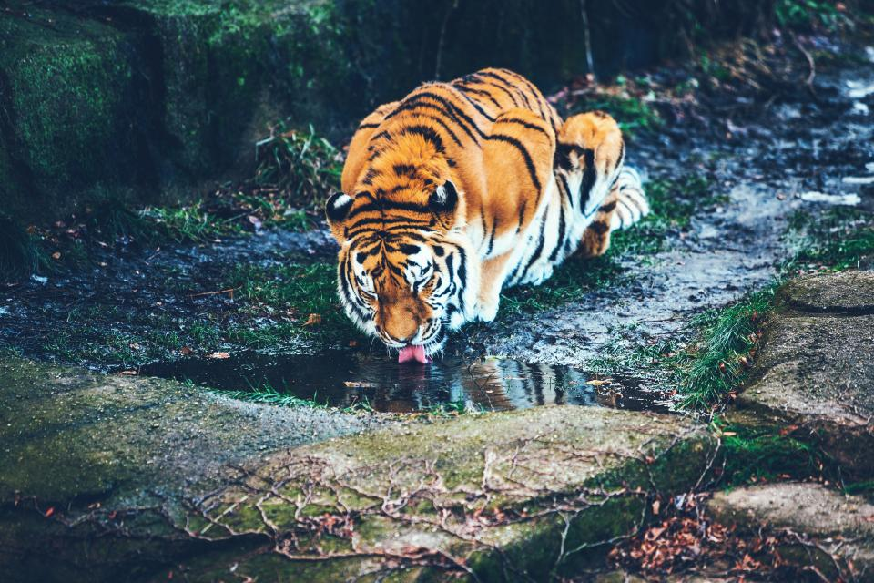 tiger animal wildlife forest water grass outdoor nature