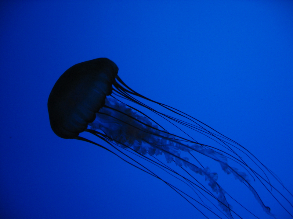 jelly fish blue water background sea ocean animal aquarium creature marine swimming floating nature sting tentacle silhouette underwater wild