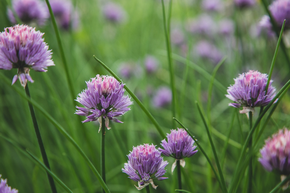 chives blossom garden nature wild purple bloom plants botanical close up ingredient
