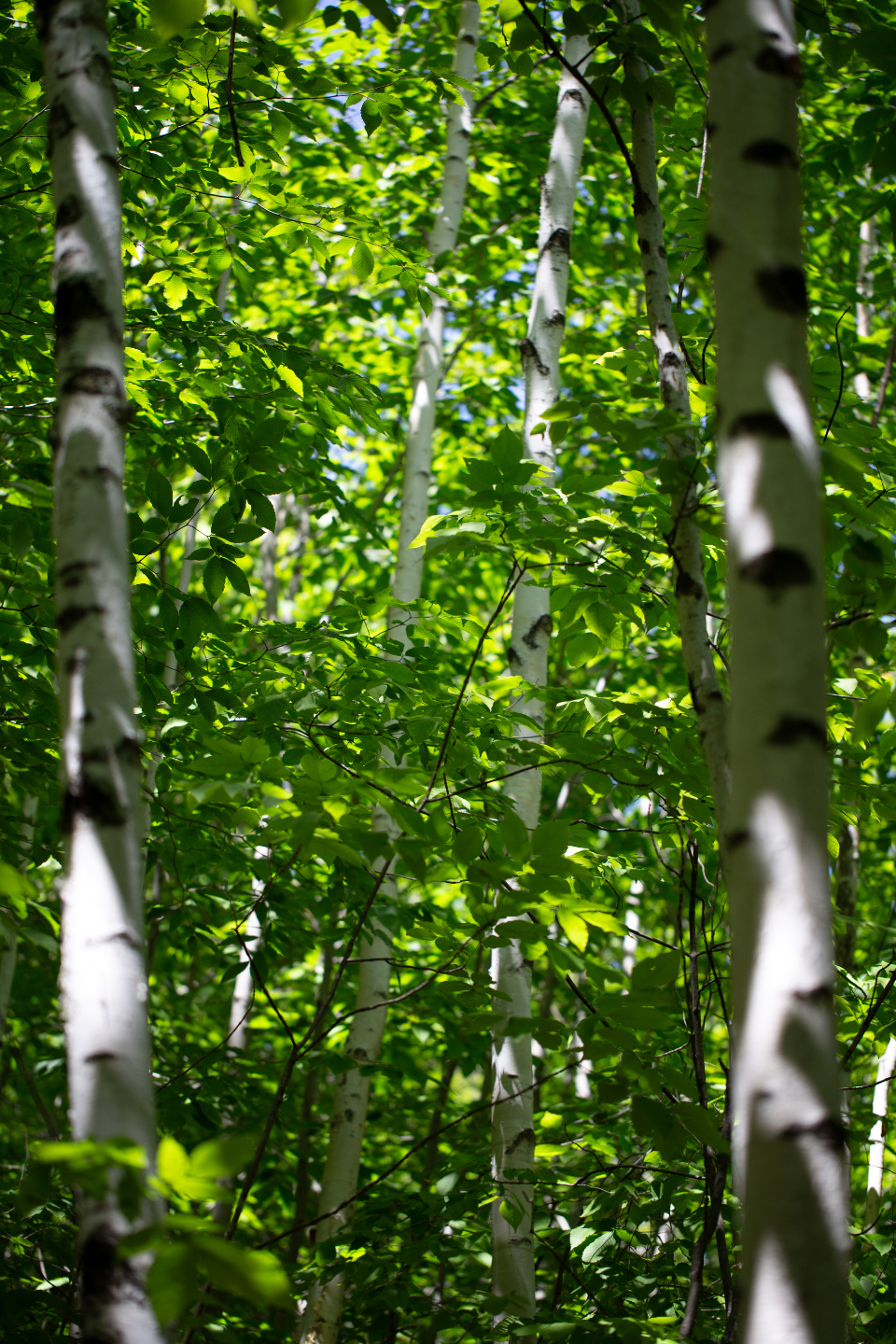 birch trees summer spring forest leaves growth green white bark nature tree scenery sunlight branches hiking