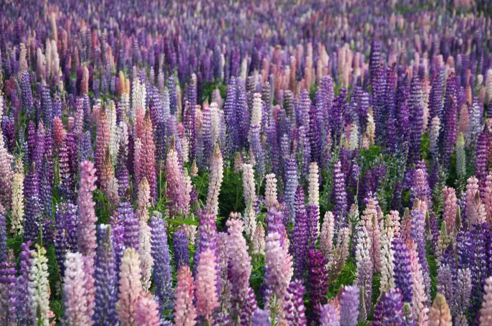 lavender flowers field farm outdoor nature travel plant garden