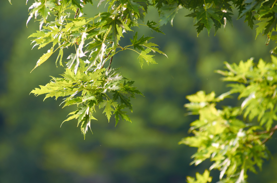 maple tree leaves background green branch sunny nature outdoors foliage bokeh forest