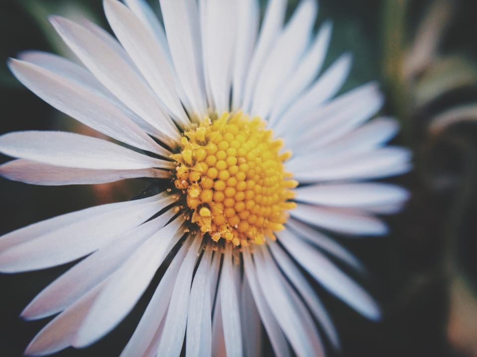 daisy flower nature
