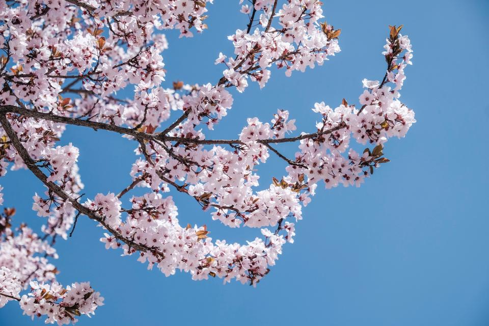 pink blossoms bloom flower tree branch nature plant blue sky