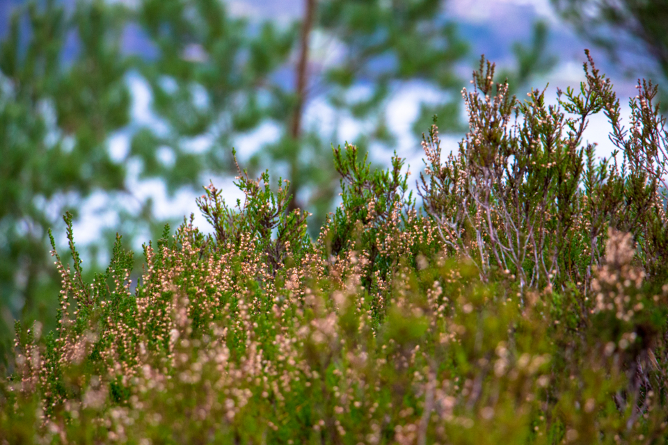 heather plant wild green pink tree branch nature