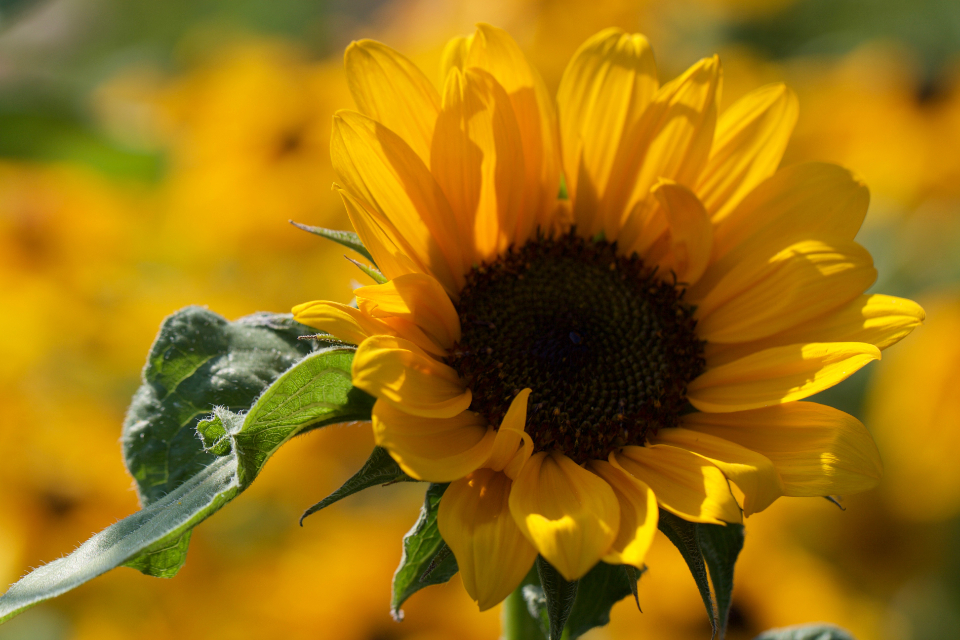 sunflower flowers close up field colorful yellow bloom blooming botanical bright flora floral plant nature bokeh