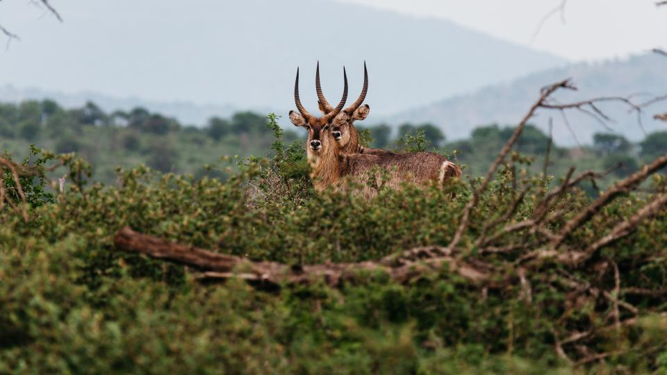 deer animal horn wildlife forest mountain grass wood tree branch blur cloud sky