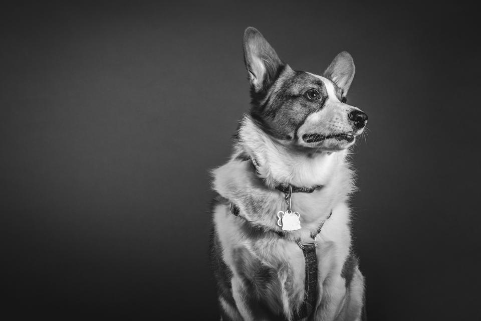 dog pet animal nature black and white